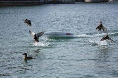 Удаление утки шлюпки RC Стоковое Фото