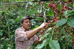 Удар продукции кофе на образовании в плохих районах в Кубе стоковая фотография