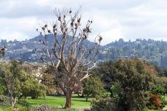 Удвойте crested бакланов гнездясь в неурожайном дереве стоковая фотография rf