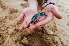 Удержание newborn морской черепахи младенца, Шри-Ланка стоковая фотография