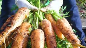 Удерживание фермера женщины в руках пук морковей сток-видео
