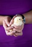 удерживание цыпленока младенца Стоковое фото RF