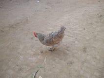 Удивленная курица Стоковое Изображение