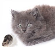 удивленная мышь котенка хомяка кота Стоковое фото RF