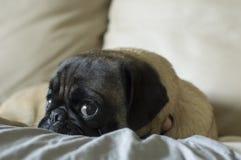 удивленный pug Стоковое Изображение
