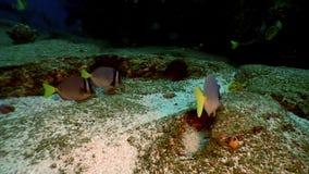 Удите бабочки ангела мелководья лагуну желтой подводную океана на Галапагос сток-видео