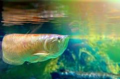 Удите заплывы на поверхности воды загоренной по солнцу Отражение золотых больших рыб на поверхности воды Стоковые Изображения RF
