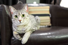 Удобный кот Mau египтянина Стоковая Фотография RF