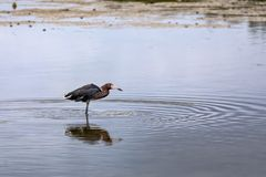 Удящ рыжеватый Egret - остров Sanibel, Флорида стоковое фото rf