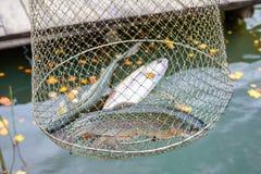 Удящ, сырцовая пресноводная рыба, радужная форель, в сети для Стоковые Изображения
