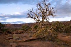 Уединенное дерево кедра в пустыне стоковое фото rf