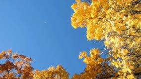 Уединенный желтый кленовый лист падает от дерева осенью против голубого неба, космоса экземпляра видеоматериал