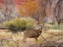 Уединенный самец оленя оленей осла стоковая фотография