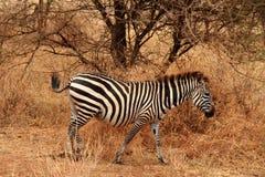 Уединённая зебра в кусте Стоковые Фото
