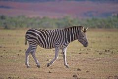 уединённая зебра Стоковое Изображение