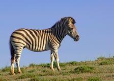 уединённая зебра Стоковое фото RF