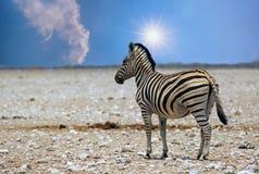 Уединённая зебра Burchell стоя на пустом лотке Etosha в Намибии Стоковое Изображение
