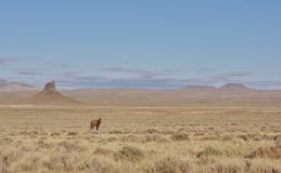 Уединённая одичалая лошадь Стоковое Изображение RF