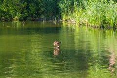 Уединённая утка в пруде воссоздания Стоковое Изображение