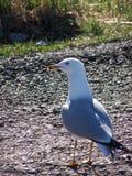 Уединённая чайка Стоковое Фото