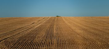 Уединённое дерево на горизонте пшеничного поля которое было отрезано стоковое фото
