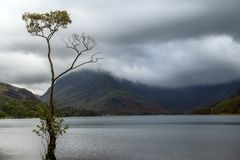 The lone tree of Buttermere during bad weather Стоковое фото RF