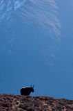 уединённые яки Стоковые Фото