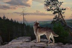 Уединённый волк от горы поет его песню стоковое фото