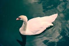 Уединённый лебедь на воде стоковые изображения rf