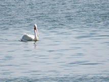 Уединённый пеликан плавая на озеро Стоковые Фото