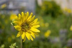 уединённый солнцецвет Стоковые Изображения