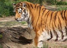 уединённый тигр Стоковые Изображения