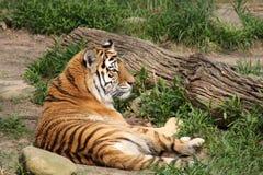 уединённый тигр Стоковое Изображение