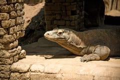 Уединённая большая ящерица из пещер утеса стоковое изображение rf