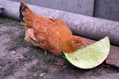 Уединённая еда цыпленка Стоковое Изображение RF