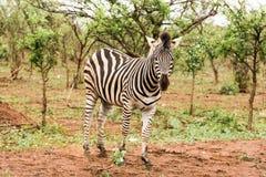 Уединённая зебра в африканском кусте Стоковое Изображение
