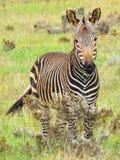 Уединённая зебра горы накидки Стоковое Фото