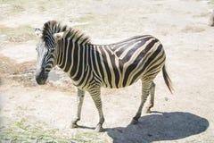 Уединённая зебра идя в саванну Стоковая Фотография RF