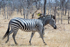 Уединённая зебра идя через сухой куст в Hwange Стоковые Изображения
