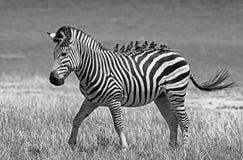 Уединённая зебра на африканских равнинах с много peckers вола садилась на насест на своей задней части Стоковое Изображение RF