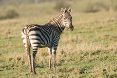 Уединённая зебра на заходе солнца Стоковая Фотография