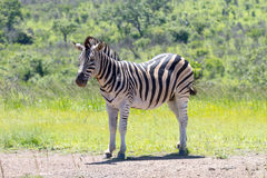 Уединённая зебра стоит в травянистом районе в национальном парке Hluhluwe/Imfolozi в Южной Африке Стоковое Фото
