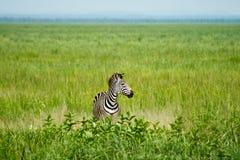 Уединённая зебра Стоковые Изображения