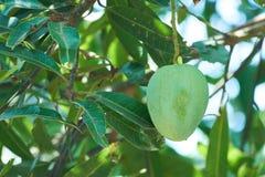 Уединённая зеленая смертная казнь через повешение манго от дерева Стоковое Фото