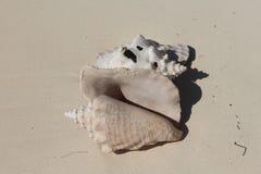 Уединённая карибская раковина стоковое изображение rf