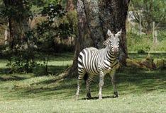 Уединённая красивая зебра Стоковое Изображение