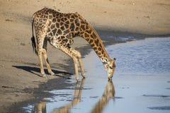 Уединённая питьевая вода жирафа на пруде в поздно вечером Стоковые Изображения RF
