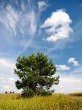 Уединённая сосна на предпосылке неба Стоковые Изображения