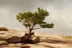 Уединённая сосна на скалистой земле Стоковые Фото