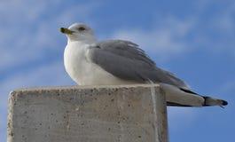 Уединённая чайка Стоковые Фото